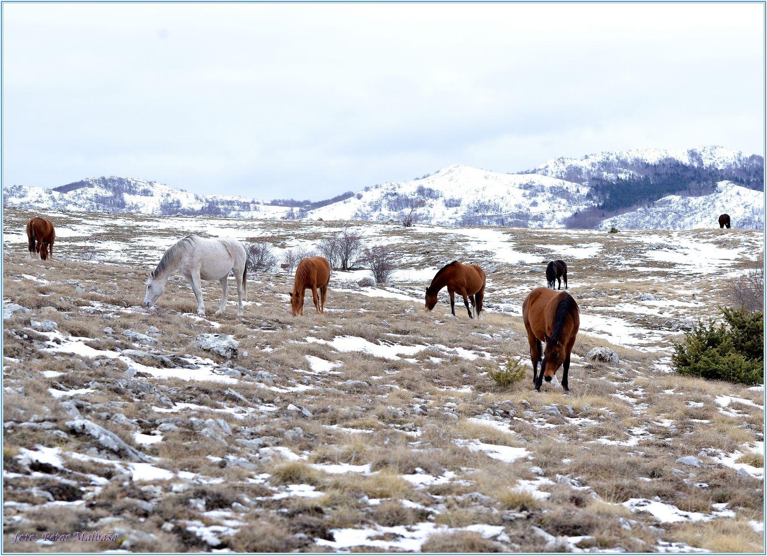 1. Na području Bilog briga - Vagnja žive konji bez vlasnika, tkz. divlji konji...čini mi se da ovi to nisu .......
