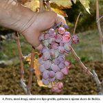 Petre meni dragi snimi ovo lipo grožđe guštamo u njemu skoro do Božića x