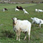 Uz cestu u Dabru nešto sitno stoke blaga bolje išta nego ništa