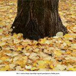 U centru Sinja ispod lipe ispred penzijonera Došla jesen x