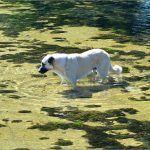 Nije ni ovaj pas slučajno po pasjoj vrućini zagazio u Cetinu ispod Kamenitog pločanog mosta